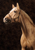palomino horse - photo/picture definition - palomino horse word and phrase image