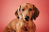 dachshund - photo/picture definition - dachshund word and phrase image