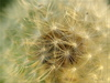 dandelion - photo/picture definition - dandelion word and phrase image