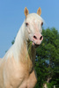 cremello horse - photo/picture definition - cremello horse word and phrase image