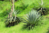 agave - photo/picture definition - agave word and phrase image