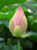 lotus bud - photo/picture definition - lotus bud word and phrase image