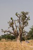 baobab - photo/picture definition - baobab word and phrase image