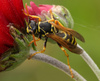 wasp - photo/picture definition - wasp word and phrase image