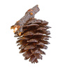 pine strobile - photo/picture definition - pine strobile word and phrase image