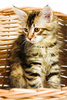 Siberian kitten - photo/picture definition - Siberian kitten word and phrase image