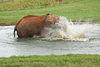 elephant bathing - photo/picture definition - elephant bathing word and phrase image