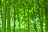 bamboo forest - photo/picture definition - bamboo forest word and phrase image