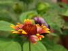 Indian blanket flower - photo/picture definition - Indian blanket flower word and phrase image