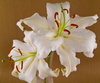 casablanca lillies - photo/picture definition - casablanca lillies word and phrase image