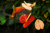 anthuriums - photo/picture definition - anthuriums word and phrase image