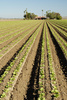 lettuce seedlings - photo/picture definition - lettuce seedlings word and phrase image