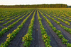 potato field - photo/picture definition - potato field word and phrase image