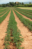 tomato field - photo/picture definition - tomato field word and phrase image