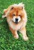 chow chow - photo/picture definition - chow chow word and phrase image
