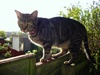 tabby cat - photo/picture definition - tabby cat word and phrase image