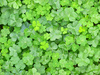 clover - photo/picture definition - clover word and phrase image