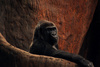 gorilla - photo/picture definition - gorilla word and phrase image