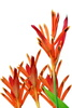 tropical heliconia - photo/picture definition - tropical heliconia word and phrase image