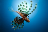 lionfish - photo/picture definition - lionfish word and phrase image