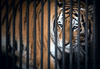 caged tiger - photo/picture definition - caged tiger word and phrase image