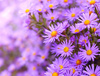 asters - photo/picture definition - asters word and phrase image