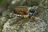 maybeetle - photo/picture definition - maybeetle word and phrase image