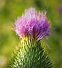 thistle - photo/picture definition - thistle word and phrase image