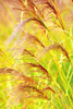 bulrush - photo/picture definition - bulrush word and phrase image