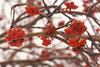 rowan berries - photo/picture definition - rowan berries word and phrase image