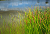 sedge - photo/picture definition - sedge word and phrase image
