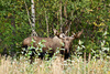 bull moose - photo/picture definition - bull moose word and phrase image