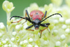 longhorn beetle - photo/picture definition - longhorn beetle word and phrase image
