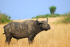 African buffalo - photo/picture definition - African buffalo word and phrase image