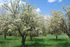 orchard - photo/picture definition - orchard word and phrase image