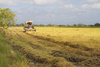 harvest in Thailand - photo/picture definition - harvest in Thailand word and phrase image