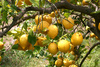 lemon garden - photo/picture definition - lemon garden word and phrase image