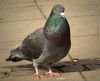 pidgeon - photo/picture definition - pidgeon word and phrase image