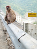 pregnant monkey - photo/picture definition - pregnant monkey word and phrase image