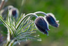 pulsatilla patens - photo/picture definition - pulsatilla patens word and phrase image