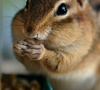 chipmunk - photo/picture definition - chipmunk word and phrase image