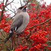 waxwing - photo/picture definition - waxwing word and phrase image