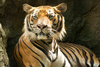 bengal tiger - photo/picture definition - bengal tiger word and phrase image