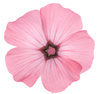 rose mallow - photo/picture definition - rose mallow word and phrase image