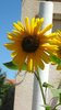 sun-flower - photo/picture definition - sun-flower word and phrase image