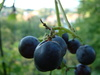 isabella grapes - photo/picture definition - isabella grapes word and phrase image