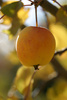 crabapple - photo/picture definition - crabapple word and phrase image