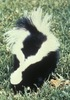 Skunk - photo/picture definition - Skunk word and phrase image