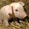 Domestic pig - photo/picture definition - Domestic pig word and phrase image