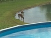 Deer drinking at pond - photo/picture definition - Deer drinking at pond word and phrase image